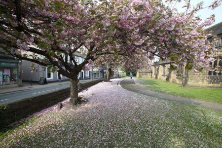 Ilkley Blossom